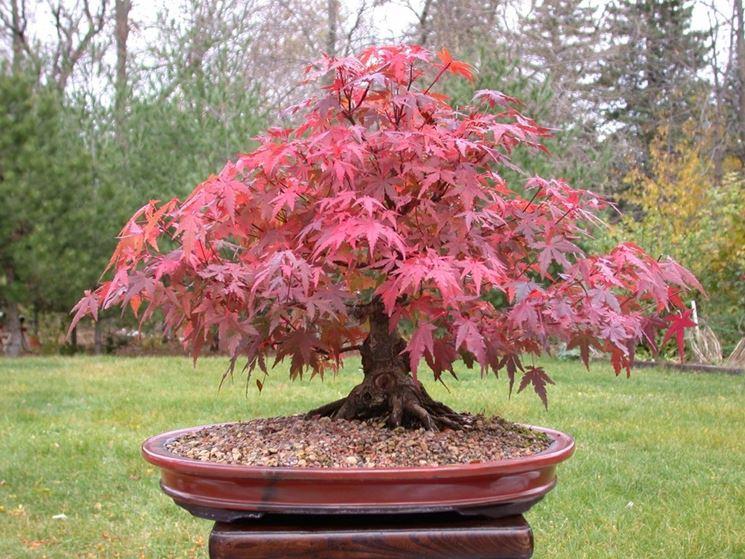 Red maple bonsai