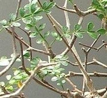 Sophora prostrate little baby