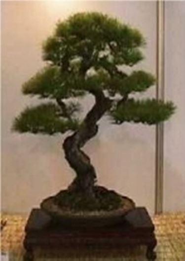 Picea bonsai