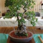 acorn from seed – Bonsai Questions and Answers