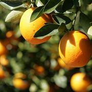 Citrus fruits, oranges