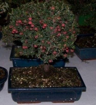 fruit bonsai