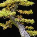 larch – Bonsai Questions and Answers
