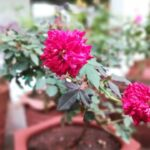 गुलाब की मिटटी जो देगा ढेरो फूल BEST POTTING SOIL FOR ROSE PLANT TO REPOT AFTR GETTING FROM NURSERY