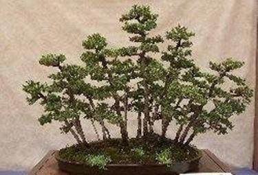 Coniferous bonsai
