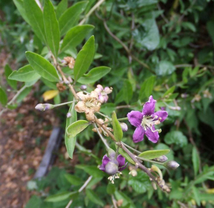 Lycium barbarum flowers