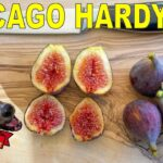 Chicago Hardy Fig – A Cold Hardy Fig Variety For Many Climates