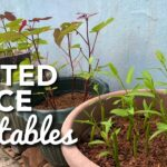 SMALL/LIMITED SPACE VEGETABLE CONTAINER GARDEN & PLANTING TOMATOES, SPRING ONIONS & GINGER IN POTS