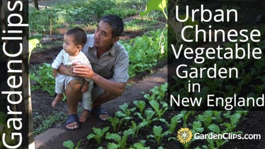 Urban Chinese Vegetable Garden in New Haven, CT – Growing Asian Vegetables in the US