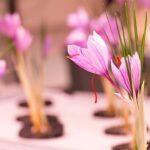 Vertical Saffron Farming