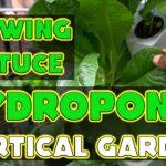Growing Lettuce Varieties – Hydroponic Vertical Garden – Aeroponic Gardening