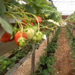 Strawberry vertical greenhouse cultivation…  kitchen garden concept