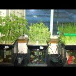 aquaponics farm | aquaponics fish | aquaponics system | aquaponic