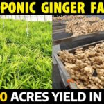 Hydroponic Ginger Farming | Get More Yield and More Income in Small Land | Ginger Cultivation