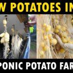 Aeroponic Potato Farming | Grow Potatoes without soil | Growing Potatoes in Air