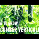 How To Grow Cucumber Vertically – Save Space & Increase Yields in 3 Simple Steps Growing Vertically