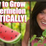 How to Grow LOTS of Watermelon – Vertically on a Trellis – in Garden Beds & Containers! 🍉🌱