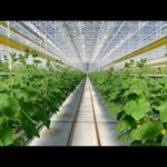 Hydroponic Greenhouse Cucumbers 🥒 Soilless Farming in Rockwool